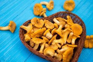 Edible Mushrooms chanterelles in a w