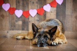 German Shepherd Dog on Valentines