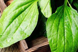 Green plantain plantago