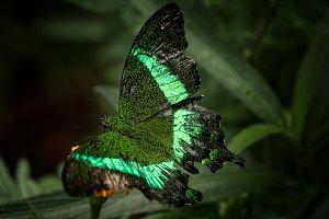 Lovely greenish butterfly