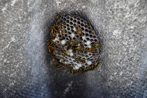 nest of a family of wasps which is