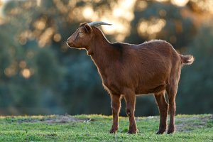 brown goat in the field