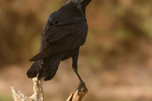 Brigh black plumage of a crow