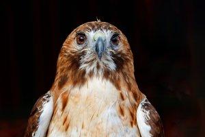 Beautiful portrait of a brown hawk w