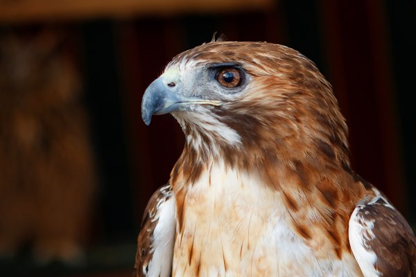 Animal Stock Photos: José Manuel Gelpi - Beautiful portrait of a brown hawk w