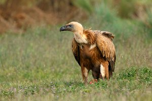 Portrait of a young vulture