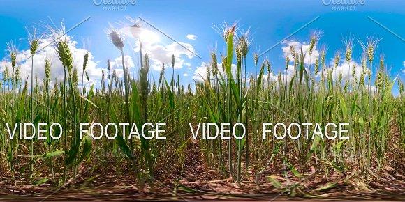Green wheat field 360VR