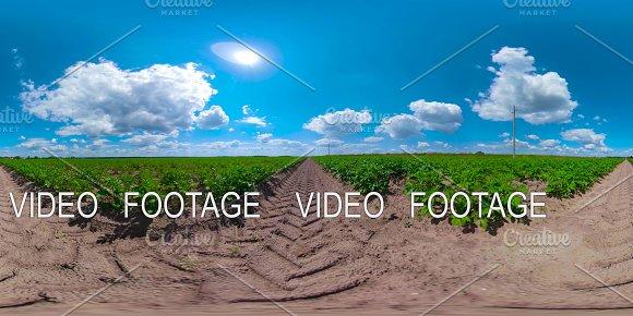 Potato field under blue sky 360VR