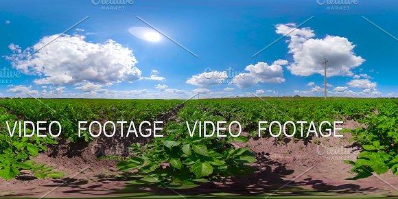 Potato field under blue sky 360VR in Graphics