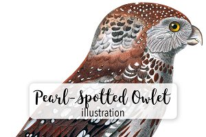 Birds: Vintage Pearl-Spotted Owlet