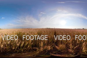 Yellow wheat field 360VR