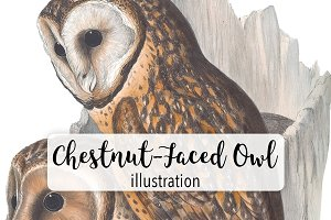 Birds: Vintage Chestnut-Faced Owl