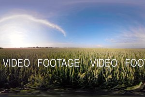 Green wheat field 360VR