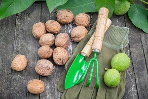 Walnuts, green nuts, gloves, tools.