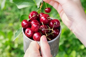 Picking sweet cherries from tree.