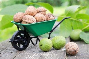 Garden wheelbarrow full of walnuts.