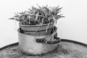 Pot Plant in Black and White