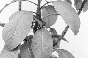 Branch Leaves Background Black White