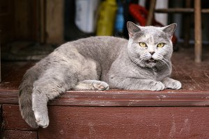 british blue cat on the country