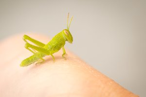 Beautiful Small Green Grasshopper Cl