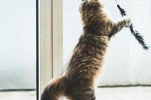 Fluffy Kitten catches toy in jump