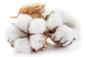 Fluffy cotton ball of cotton plant o