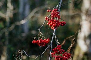 Bunches of ripe rowan
