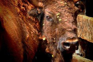 European bison portrait