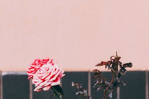 Roses on pink wall background. Minim