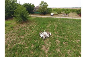 The geese graze on the lawn. geese