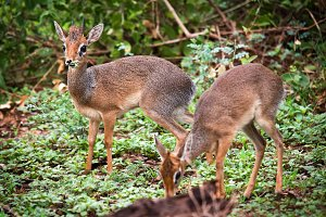 Couple of dik-dik antelopes, Africa