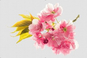 PNG Blossoms of sakura cherry tree