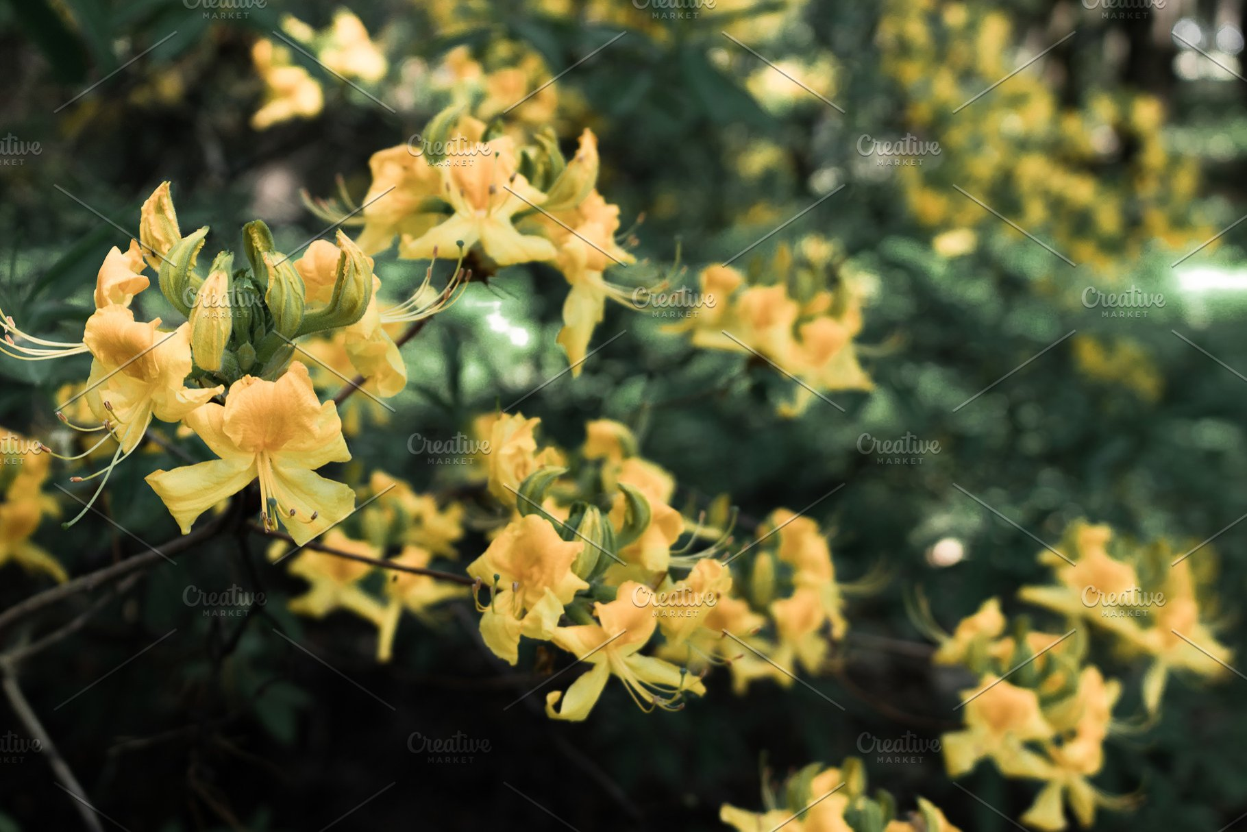 Yellow Rhododendron Flowers High Quality Nature Stock Photos
