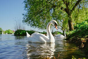white grace swanon Alster lake on a