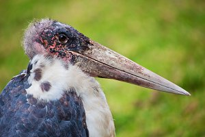 The Marabou Stork close-up portrait