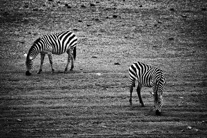 Two zebras in black & white