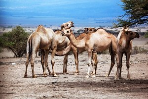 Group of camels under the tree