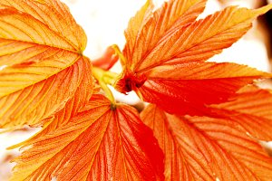 Spring Maple Leaves Close Up