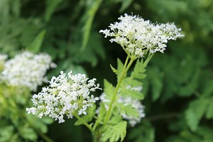 Herb sweet cicely white flowers
