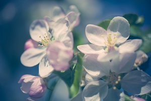 Apple blossoms over blurred nature b