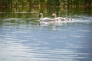 Family of Swan Swimming in the Water