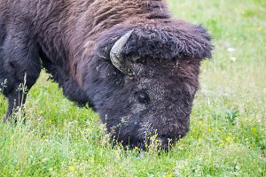 Large Bison Feeding in the Meadow.