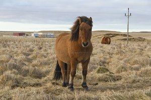 Icelandic Horse Image