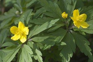 Yellow anemone flowers