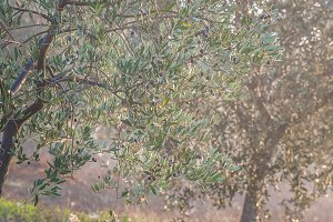 Ripe Olives on Branches