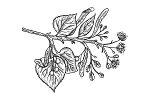 Linden branch engraving vector