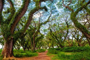 Walking path under ancient trees