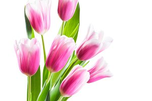 Pink Tulip Flowers Isolated