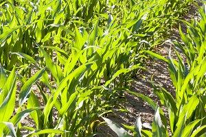 beautiful corn foliage