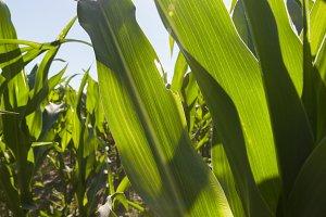 sun shining through green corn